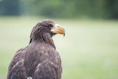 Mare Eagle Fotografia Stock Libera da Diritti
