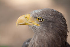 Mare Eagle Fotografia Stock