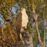 Mare Eagle dal ventre bianco, Australia Fotografia Stock Libera da Diritti