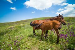 Mare feeding colt Royalty Free Stock Image
