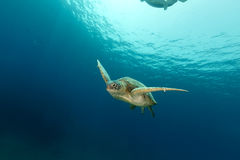Mare femminile della tartaruga verde in rosso Fotografie Stock