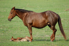 Mare with filly. A brown mare with her foal on the green meadow stock images