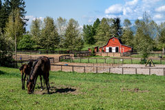 Mare and Filly Grazing in a Meadow Royalty Free Stock Photo