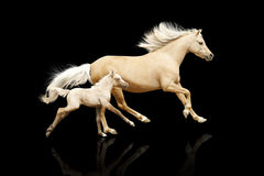 Mare and foal. Galloping on black stock image