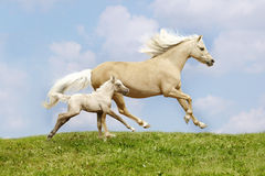 Mare and foal. Galloping on field Royalty Free Stock Photos