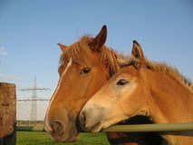 Mare and foal. On a paddock Royalty Free Stock Photography