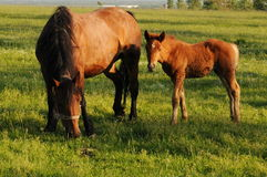 Mare and foal. Brown mare and foal in the green field royalty free stock photo