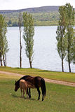 Mare with foal Royalty Free Stock Image