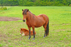 Mare and foal. An Icelandic horse with her foal Royalty Free Stock Images
