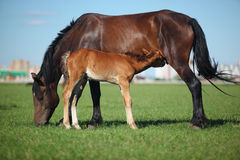 Mare & Foal. A mare and her offspring in a green field of grass. City on background royalty free stock images