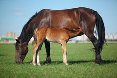 Mare & Foal. A mare and her offspring in a green field of grass. City on background stock photography