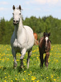 Mare and foal. On  meadow Stock Photo