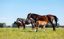 Mare & Foal. A mare and her offspring in a green field of grass. Other horses and village on background royalty free stock photos