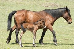 Mare and foal. Horse with own new-born baby Royalty Free Stock Images