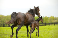 Mare and foal. A mare and its foal running Stock Photography