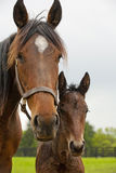 Mare and foal. A mare and its foal, 4 weeks old Stock Images