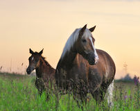 Mare and foal. On a sunrise royalty free stock photos