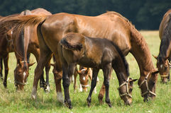 A mare and a foal Stock Image