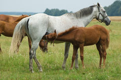 A mare and a foal Stock Photography