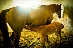 Mare and Foal. A mare patiently stands while her hungry foal feeds Stock Images
