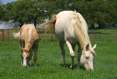 Mare and Foal. Cream colored or white quarter horse mare with palomino colt, grazing in lush green pasture, red pipe fence in background, spring, oak trees on stock photos