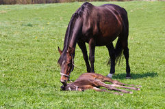 Mare with foal Royalty Free Stock Photos