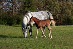Mare and Foal. Arabian mare and foal out in the pasture Royalty Free Stock Photos