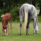Mare and Foal. Arabian mare and foal out in the pasture Stock Image