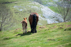 Mare with a foal. Basque Country (Spain Royalty Free Stock Image