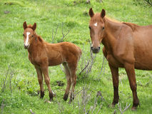 Mare and the foal Stock Photos