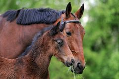 Mare with foal Stock Photography