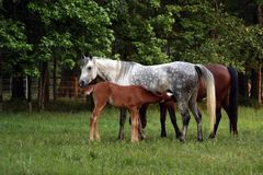 Mare and Foal. Arabian mare and foal out in the pasture Stock Photos