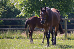 Mare with foal Stock Images