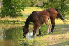 Mare and foal. Drinking from a pond Stock Images