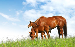 Mare and foal. Horses in a field - realistic photomontage Royalty Free Stock Images