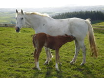 Mare with foal. A white mare with a brown foal feeding, photo taken in Mere Mere New Zealand Stock Photos