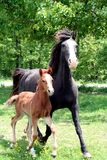 Mare with foal. A curly black mare and her brown little foal running outdoors Stock Image