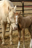 Mare and Foal. Quarter horse mare with her newborn palomino colt, corral and fence in background, mare proudly nuzzles baby Stock Images