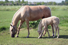 Mare and foal. Palomino mare and foal grazing in green pasture royalty free stock image