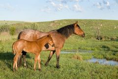 Mare and Foal. Quarter horse mare and foal by a stream in green pasture royalty free stock images