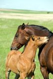 Mare and foal. Bay quarter horse mare and foal grooming each other stock photo