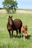 Mare and foal. Bay quarter horse mare and foal grazing green pasture with large tree in background stock photography