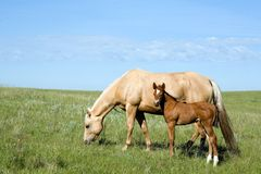 Mare and foal. Palomino quarter horse mare and foal stock photo