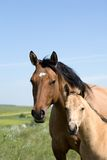 Mare and foal. Dun quarter horse mare and foal Stock Photography