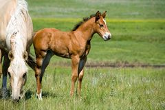 Mare and foal. Palomino quarter horse mare and foal in green pasture stock image