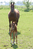 Mare and foal. Foal of one day old and her mother for the first time in the meadow-Raoul Nijst royalty free stock photo