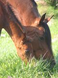 Mare and Foal. Closeup of a Mare and Foal grazing side by side Royalty Free Stock Image