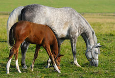Mare and foal. Dapple-gray mare and bay foal Royalty Free Stock Photo