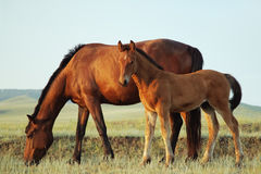 Mare and foal. Mare and her foal in a field stock photo