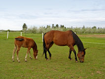 Mare & Foal stock image